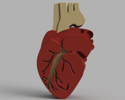 القلب البشري | علم الاحياء